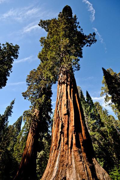 Giant Sequoias Mariposa Grove Yosemite National Park