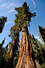 Giant Sequoias Mariposa Grove Yosemite National Park