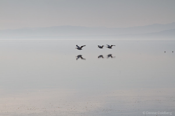 pelicans flying, Salton Sea