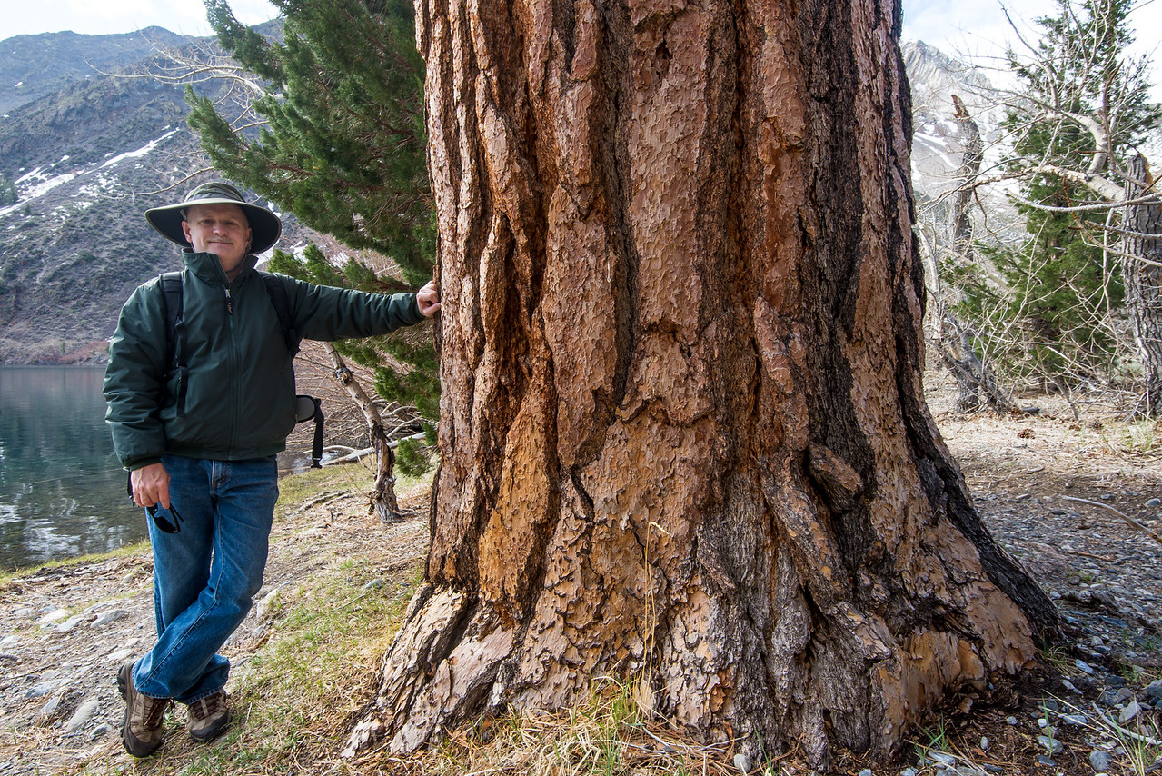 At the base of a huge Pine - Convict Lake near Mammoth Lakes, California - April 2016
