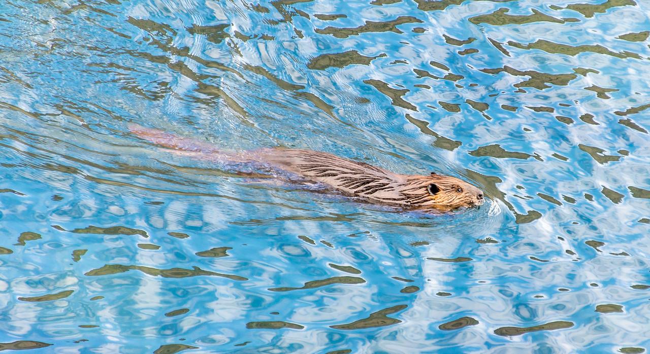 Beaver in Convict Lake near Mammoth Lakes, California - April 2016