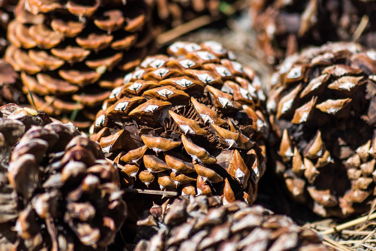Pine Cones - Mammoth Lakes, California - April 2016