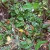 Broadleaf Forget-me-not (Myosotis latifolia)