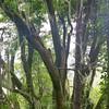 California Bay Laurel (Umbellularia California)