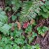 Crevice Alumroot (Heuchera micrantha)