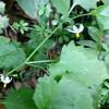 Forked Nightshade (Solanum furcatum)