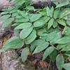 False Solomon's Seal (Maianthemum racemosum)