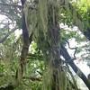 Lace Lichen (Romalina menziesii)