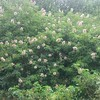 California Buckeye (Aesculus californica)
