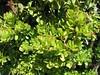 A big Jade plant
