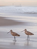 Marbled Godwits on Oxnard Beach