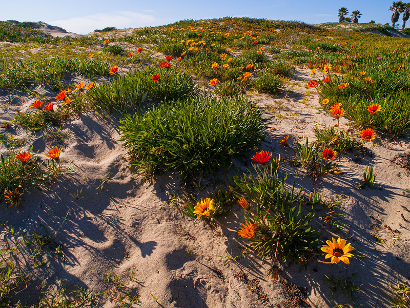 Wildflowers in the dunes at Oxnard Beach