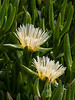 Ice Plant (Carpobrotus edulis), Oxnard Beach, CA, October 2002