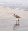 Marbled Godwit on Oxnard Beach