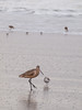 Willets & Plovers on Oxnard Beach