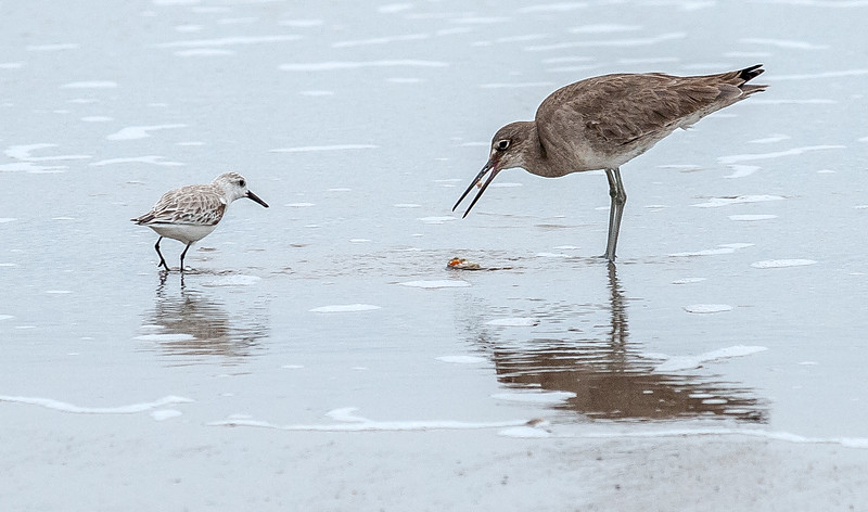 Willett & Sandpiper