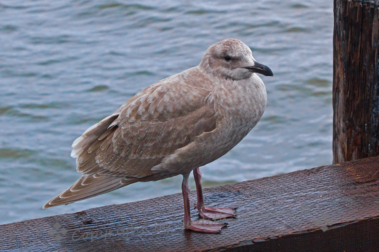 Immature Glaucous-winged Gull
