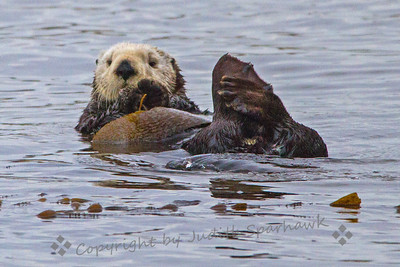 Sea Otter Hanging Out