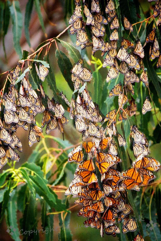 Gathering of Monarchs