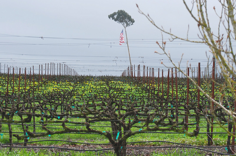Just leaving the Sonoma Valley, we saw this - grapes with tree- flag - a nice bit of whimsey I think.