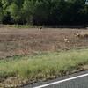 Mule Deer crossing the highway at Fort Stanton. Elev 6,200
