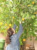 There is nothing like picking the orange straight from the tree and having fresh squeezed OJ.