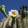 Saguaro Cactus in bloom in Saguaro National Park outside Phoenix, AZ - the pix # 3 to 10 taken May 7, 2011 in this NP.  It may be a desert but the wildflowers were very much enjoying the spring.