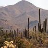 Saguaro National Park outside Phoenix, AZ