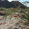Ocotillo in Joshua Tree NP in CA