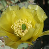 Cactus in bloom.  Believe this is the Prickly Pear variety.