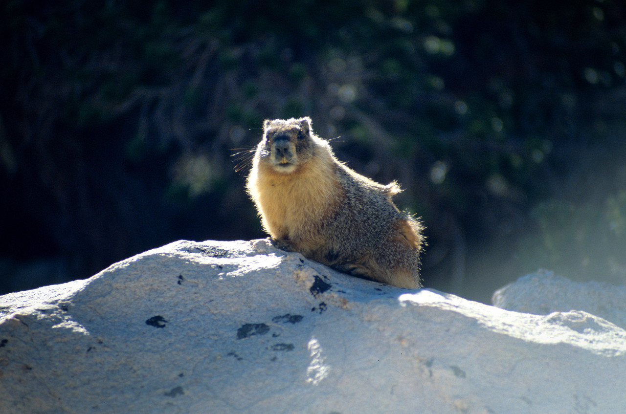 Marmot giving me the eye, Sierra-Nevada's - July 1989