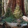 General Sherman Tree2 5-90