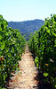 Grape vines in Napa Valley