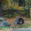 Wild Turkeys, California