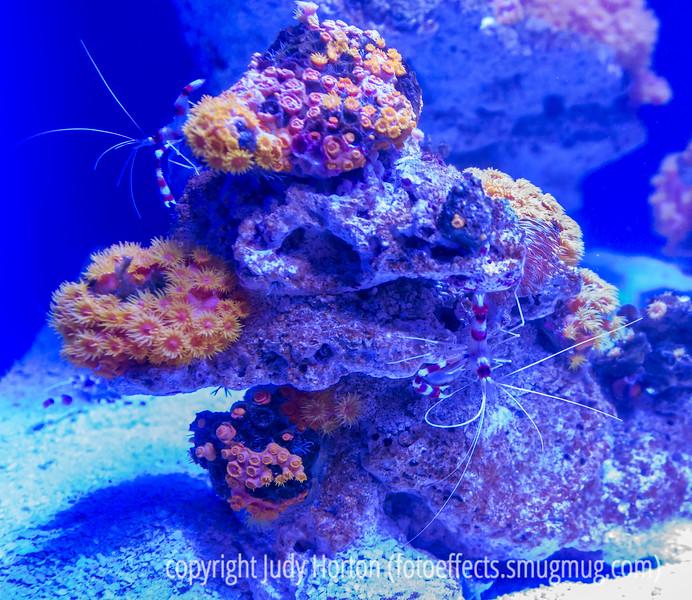 Corals and Shrimp
