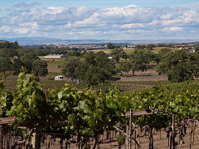 Vineyards @ Paso Robles, CA in the spring growing season.