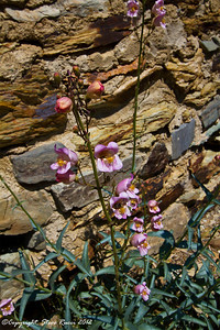 A wildflower growing next to the charcoal kilns in Wildrose Canyon, Death Valley National Park - California.