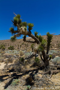 A Joshua tree along the road, traveling south along the Eastern Sierra mountains in California.