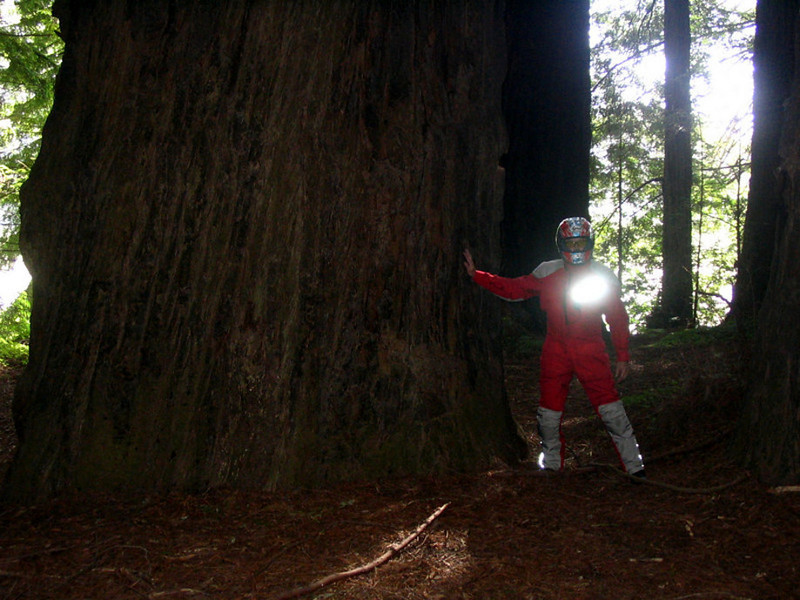 One of the Redwood trees on Avenue of the Giants