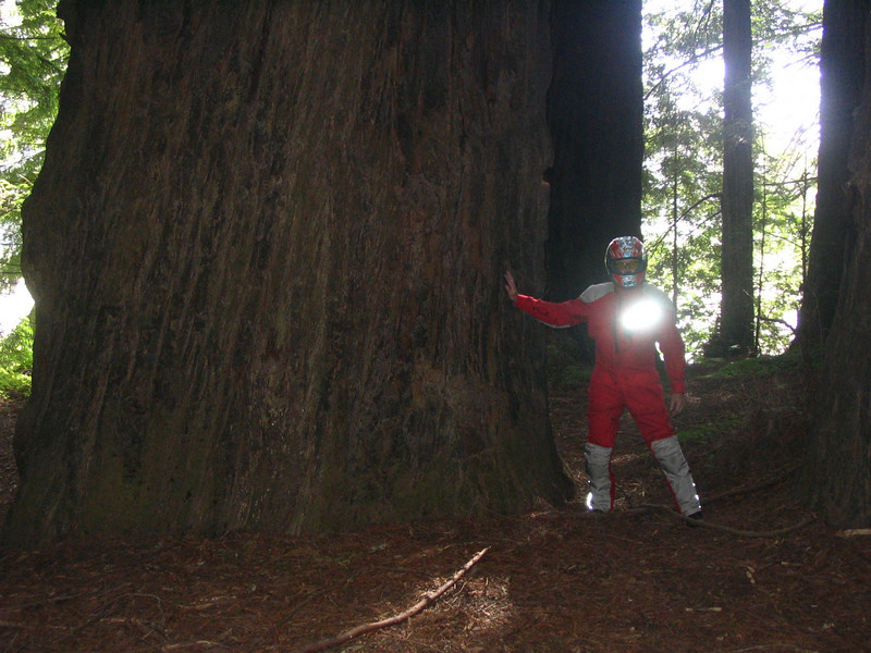 "Tuesday - Look carefully at the diameter of this Redwood tree, truly an ""Avenue of Giants"" near Eureka on the northern coastline"