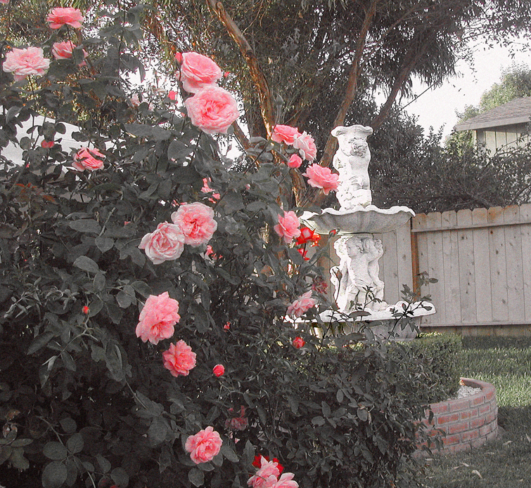 Brooks back yard, roses and fountain