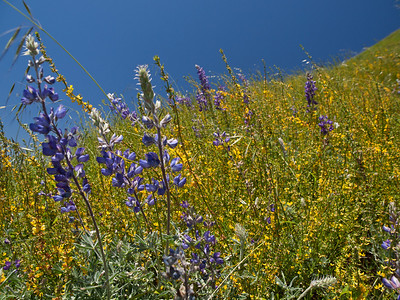 Lupines and other wildflowers in dense profusion on a hill in Big Sur.
