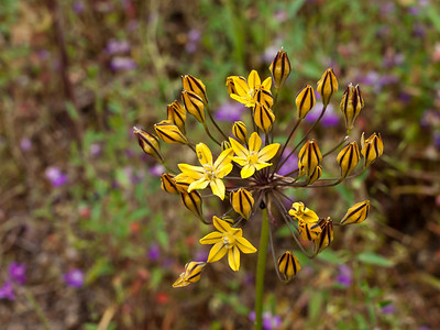 Pretty Faces (Triteleia lugens) found on the trail at Pinnacles National Monument.