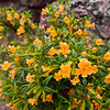 Sticky monkeyflowers at Pinnacles National Monument.  Why they are so named is a mystery.