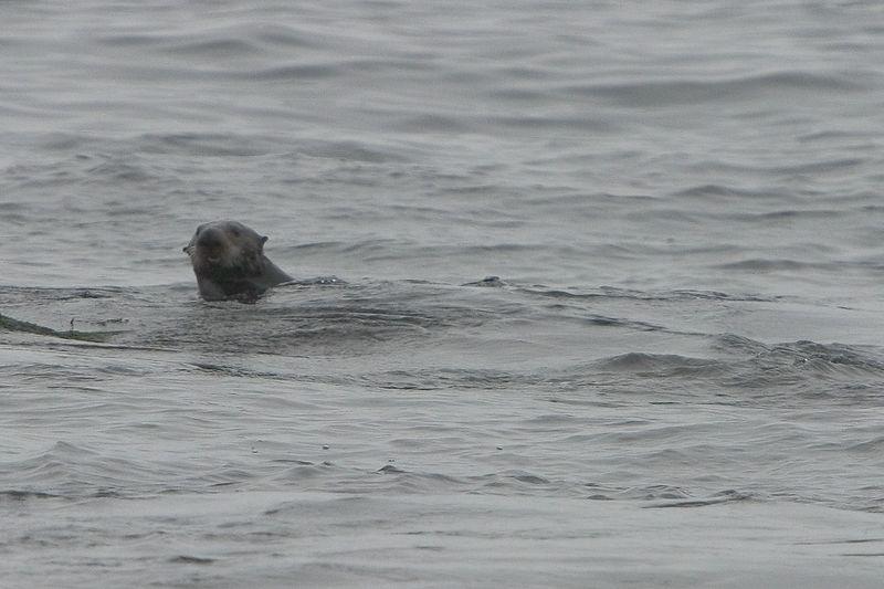 Pacific Grove - Sea Otter