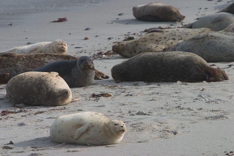 Monterey - Harbor Seals