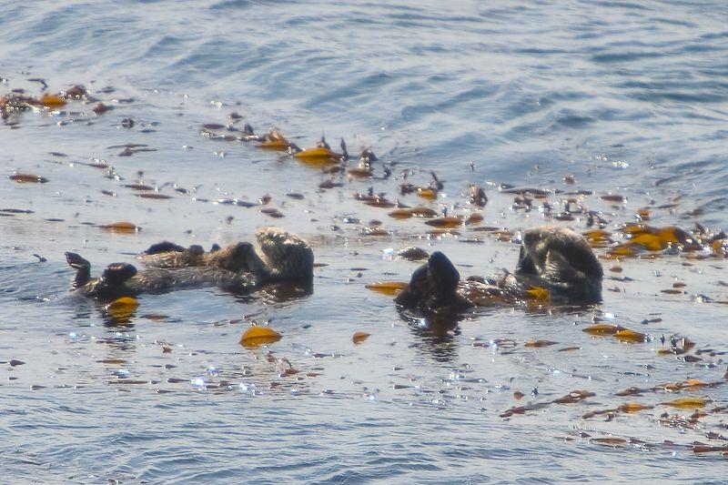 Pebble Beach - Sea Otter