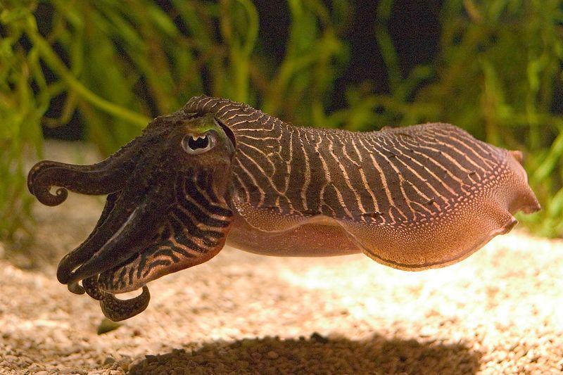 Monterey Aquarium - Cuddle Fish