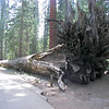 Sequoias do not have deep tap roots; instead, the roots spread out near the surface to capture water. The roots are usually no deeper than six feet and they spread out more than 150 feet to provide a stable base and provide balance for the massive trunk.
