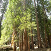 """Giant Sequoias aren't the tallest living things, either. The related coastal redwoods, Sequoia sempervirens, grow higher, up to 368 feet. These """"Sierra redwoods"""" grow to around 310 feet. The tallest Sequoia in the Mariposa Grove is about 290 feet tall."""